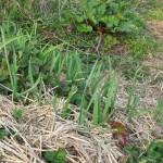 Knoflook en look-zonder-look komen ook al vroeg boven (een eenjarige resp. een tweejarige plant)