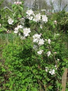 Mispelboom (Mespilus germanica) in bloei op onze volkstuin