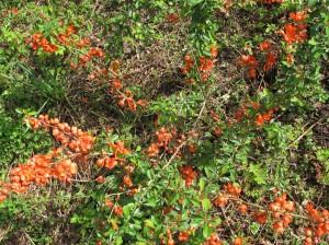 Een van de Chaenomeles japonica (Japanse Dwergkwee oftewel Citroen van het noorden) in bloei op onze volkstuin. Misschien ken je deze plant uit plantsoenen! Of uit het boek Permacultuur in je moestuin dat ik mee bewerkte en vertaalde.