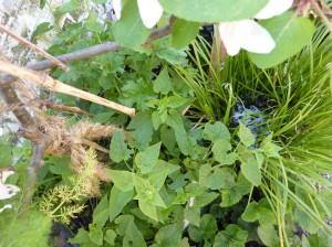 Kaukasische rankspinazie (Hablitzia tamnoides) begin mei, onder een appelboompje in een grote pot op mijn terras; je ziet dat er al van is geoogst ;-)