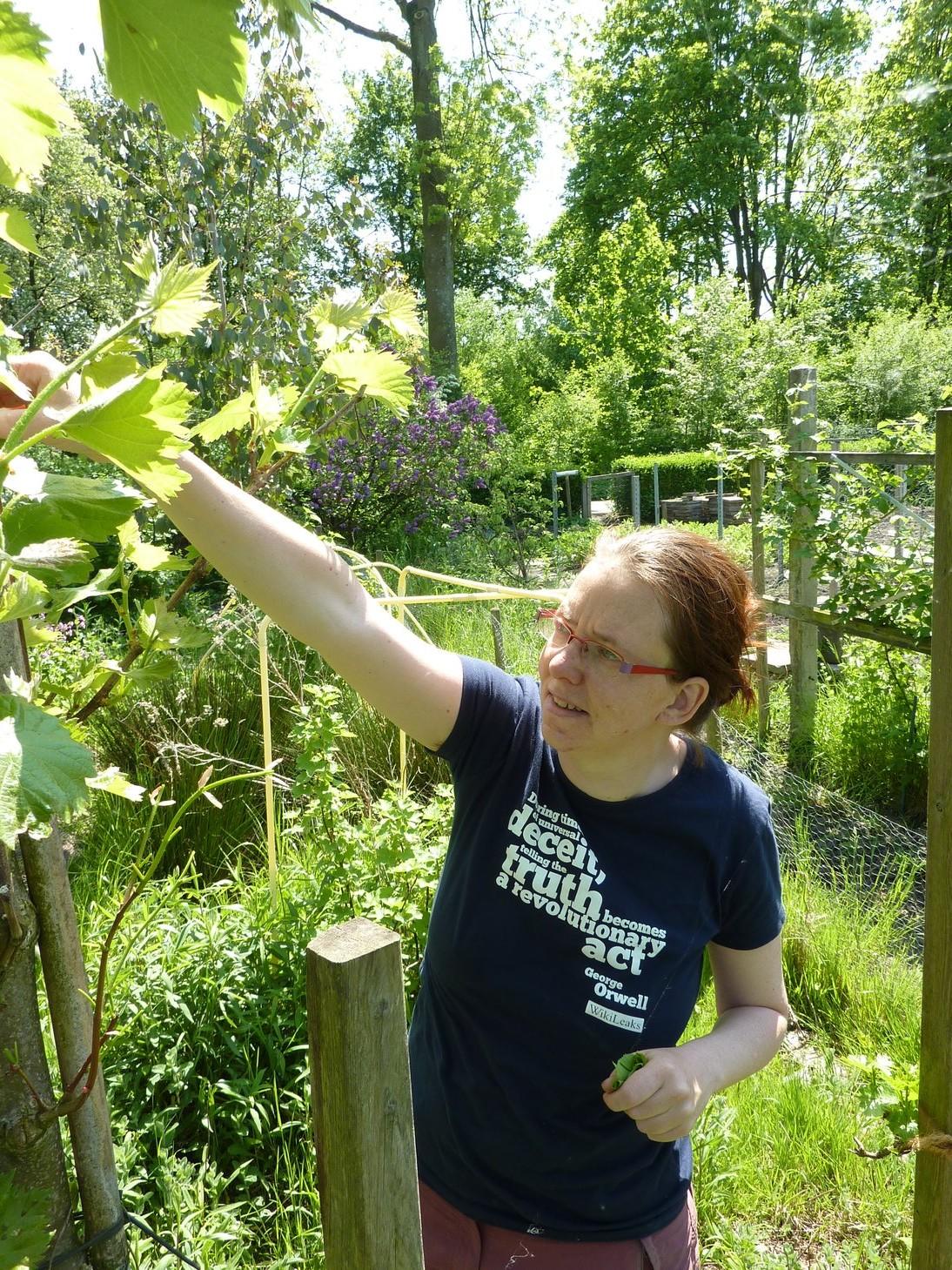 Plaatje: Maranke oogst lindeblaadjes (de druif die je hier ziet groeit in een leilinde)